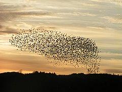 Fugle, ørnsø 073.jpg
